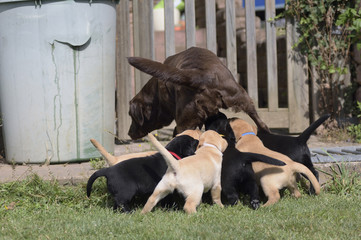 Hundemutter beim säugen der Welpen