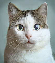 siberian cat close up art portrait
