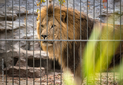 lion with a mane in a cage.