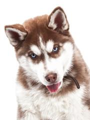 Young Siberian Husky dog