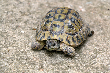 Small tortoise (Cryptodira) walking outdoor. Selective focus.