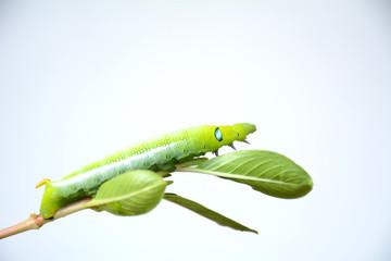 Caterpillar, Big green worm, Giant green worm