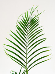 Shape in nature. Decorative leaf the papyrus plant. Close up. Natural background.