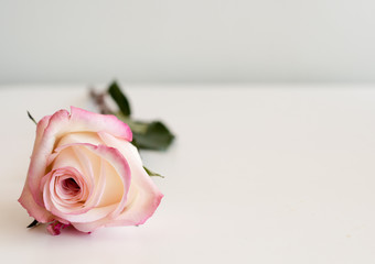 Close up of single pink and cream rose lying on white table against neutral background (selective focus)