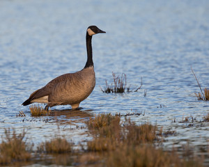 Canada goose seen in the wild at a North California marsh
