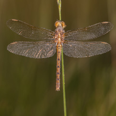 Dragonfly (Orthetrum coerulescens) on the grass with a dew on her wings.