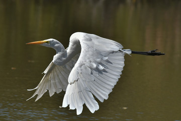 Great White Egret flying by with beautiful wings spread wide Wall mural