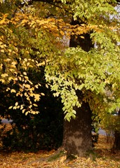 elms tree with yellow leaves at autumn