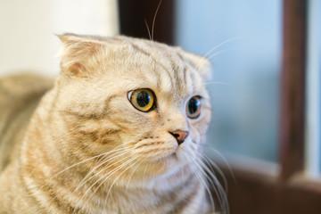 The closeup of sitting dun cat next to the window.
