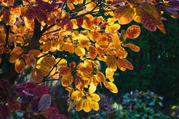Colorful autumn leaves on tree in garden. Yellow, orange and pink colors.