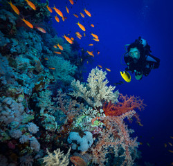 Diver explores the soft corals on Soraya Reef, Red Sea, Egypt