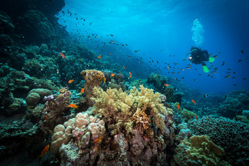Diver explores reefs in the Red Sea, Egypt