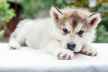 small cute alaskan malamute puppy