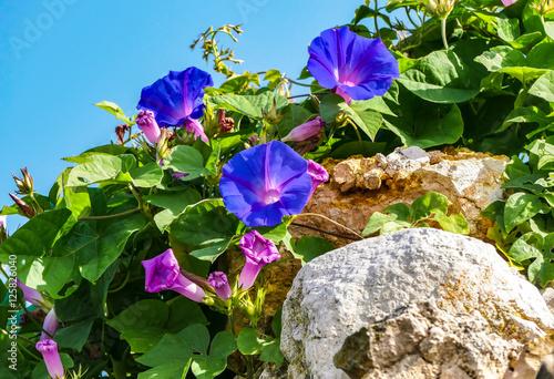 wildwachsende blaue glockenblume auf einer mauer stockfotos und lizenzfreie bilder auf fotolia. Black Bedroom Furniture Sets. Home Design Ideas