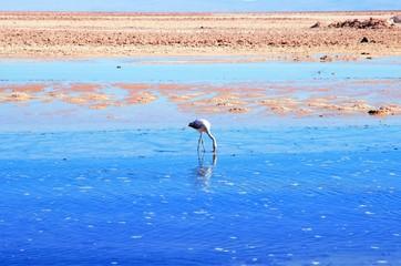 Close up of a flamingo in the Laguna Chaxa a lagoon in the National reserve Los Flamencos close to San Pedro de Atacama in the Atacama desert in Chile, South America