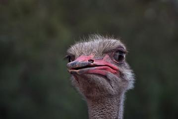 misstrauischer Straußenvogel