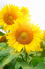 blooming sunflowers and the sun's rays with glare