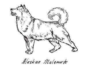 Alaskan Malamute, hand drawn doodle, sketch in pop art style, vector