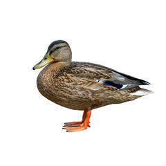 brown ordinary mallard closeup isolated on white background