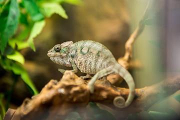 Chameleon in nature