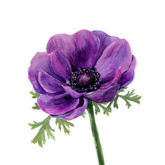 Watercolor violet anemone. Hand drawn illustration on white background. For design, textile and background. Realistic botanical illustration.