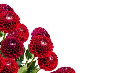 dahlia isolated on white