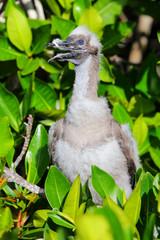 Red-footed booby chick on Genovesa island, Galapagos National Pa