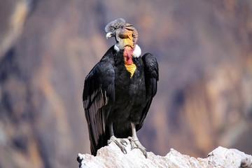 Andean Condor sitting at Mirador Cruz del Condor in Colca Canyon