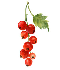 Watercolor red currant with leaf. Hand drawn artistic illustration on white background. For design, textile and background. Realistic botanical illustration.