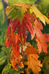 Autumn foliage of Acer saccharum (sugar maple or rock maple). Sugar maple is best known for its bright fall foliage and for being the primary source of maple syrup.