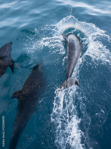 Playing Bottlenose Dolphins