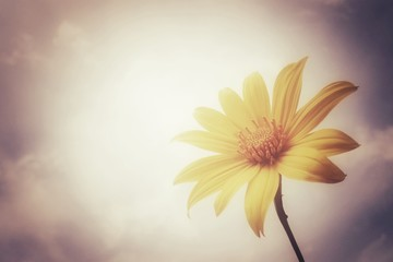 Maxican sunflower and sky wallpaper backgroind