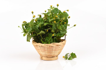 Para cress, Toothache Plant, Toothache plant, Brazil cress Toothache plant, Pellitary, Spot flower, Plants, vegetables and herbs with medicinal properties of Thailand.