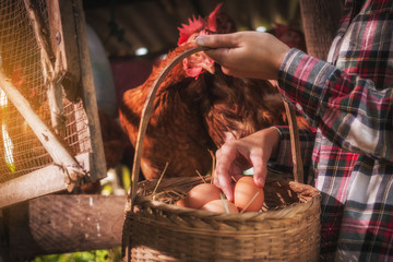 a woman gathering fresh eggs into basket at hen house in countryside morning