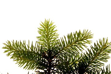 Decoration for pine