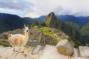 Poster Lama Llama standing at Machu Picchu overlook in Peru