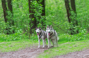 Two Siberian husky running in the woods