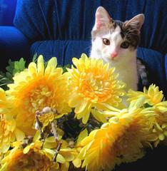Котенок возле желтых цветов на синем кресле. Фон, фото, открытка, плакат.
