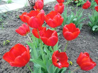 Цветы, красные, красочные тюльпаны в саду весной. Фото. Букет на земле.