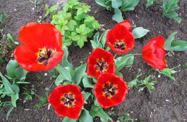 Цветы, красные, красочные тюльпаны в саду весной.  Букет. Фото, фон.