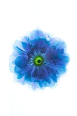 Surreal blue flowers of sakura macro isolated on white