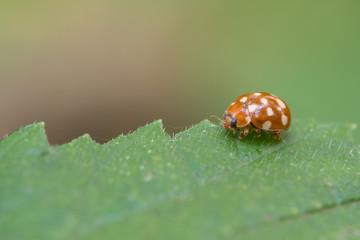 Cream-spot ladybird, Calvia quatuordecimguttata