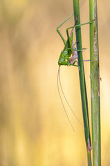 Great Green Bush-Cricket, Nymphe, Tettigonia viridissima