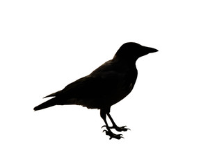 The black silhouette of a crow on the white background