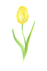 Isolated watercolor tulip on white background. Beautiful and elegant flower for decoration.