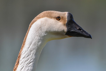 Swan goose (Anser cygnoides), Italy