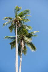 Coconut palm tree over blue sky background