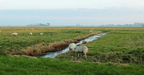 Niederlande, Seeland, Polder, Weideland mit Schafen
