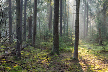 Fototapete - Sunbeam entering rich coniferous forest