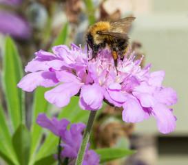 Honeybee on Wild Flower